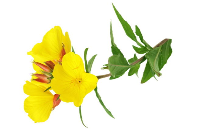 Evening Primrose Oil: Uses, Benefits and Side Effects